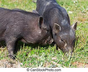 Black pigs on green pasture