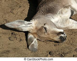 Animal - kangaroo - Australian kangaroo grazes on grass