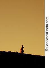 Animal: Kangaroo