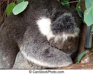 animal, -, koala