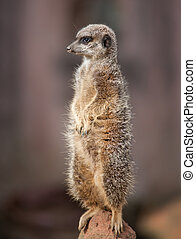 Animal life in Africa: watchful meercat or suricate