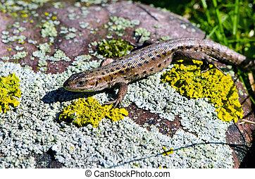 lizard (Lacerta vivipara) on stone - animal lizard (Lacerta...