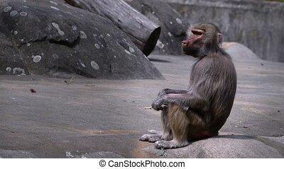animal, mammifère, chimpanzé
