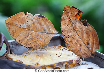 animal mimicry - two oak leaf butterflies on a slice of...