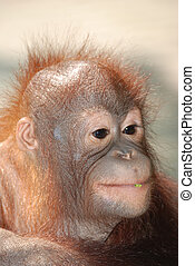 animal monkey ape portrait face