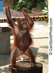 animal monkey ape portrait