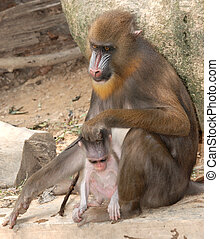 animal monkey mandrill mother and baby