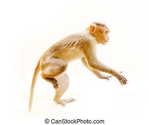 animal, mono, uno, joven