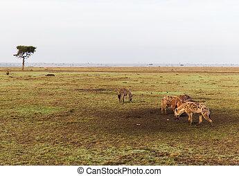 clan of hyenas in savannah at africa