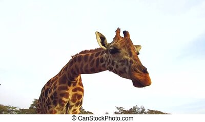 animal, nature and wildlife concept - giraffe chewing something in savanna at africa