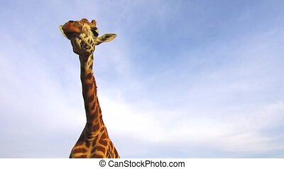 giraffe in africa - animal, nature and wildlife concept -...