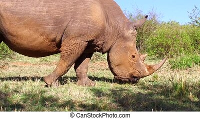 rhino gazing in savanna at africa - animal, nature, fauna...