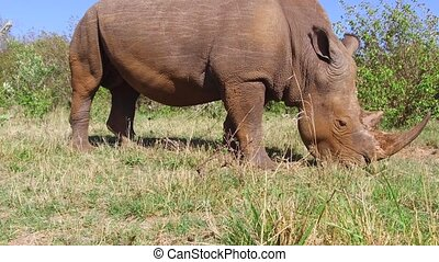 rhino grazing in savanna at africa
