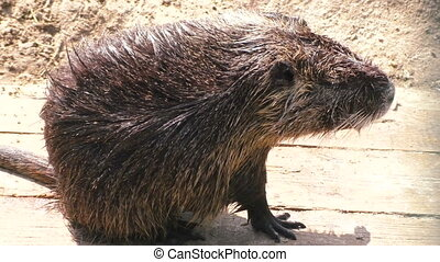 Animal nutria close-up. - Animal is gray and wet nutria...
