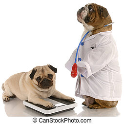 animal obesity - bulldog dressed up as doctor standing...