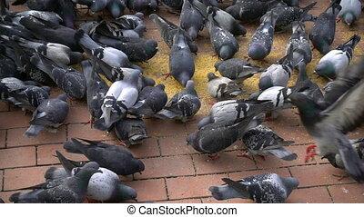 animal, oiseau, pigeons