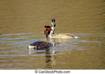 animal pair of wild birds Podiceps cristatus floating on...