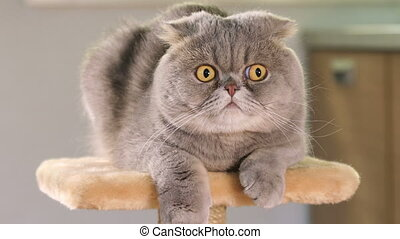 Animal portrait of Scottish Fold cat with a wide range of...