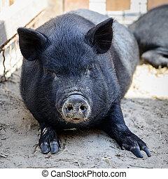 animal, pretas, porca
