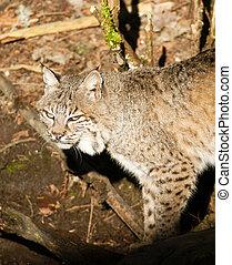 animal selvagem, bobcat, andar, stalking, através, madeiras