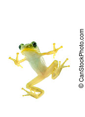 Schlegel's green tree frog - Animal series Schlegel's green...