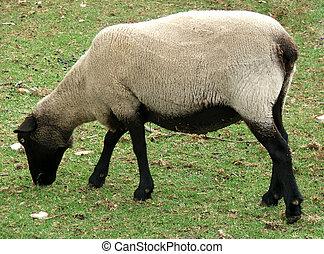 Animal - Sheep