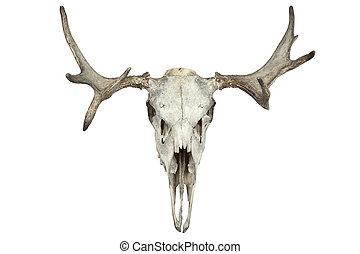 animal skull - Animal skull isolated on white