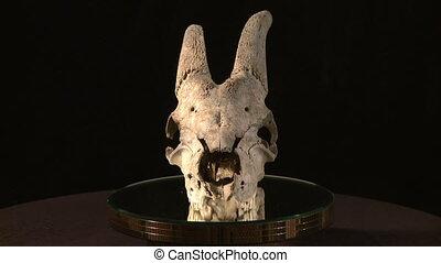 Animal skull   - Animal skull over black
