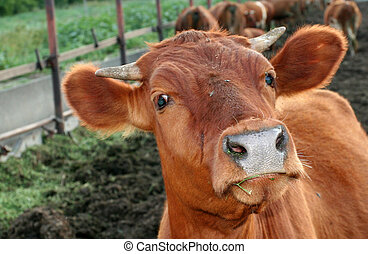 Animal the cow