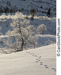 Animal tracks in the snow leading to a birch tree, Betula pubescens