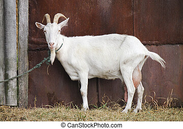 White goat - Animal. White goat with a rope tied at the gate