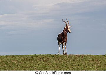 Animal Wildlife Blesbok - Wildlife animal Cape Blesbob buck...