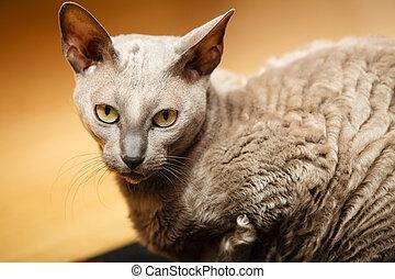 animales, en, home., egipcio, mau, gato