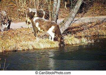 animales, granja, lago, manada, orilla, lechería, vacas, río, o, banco