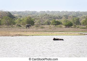 animales, sri, reserva, lago, salvaje, lanka
