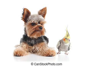 animali domestici, terrier yorkshire, cucciolo, e, cockatiel, uccello, proposta, insieme