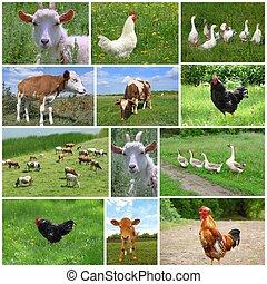 animali fattoria, e, uccelli, collage