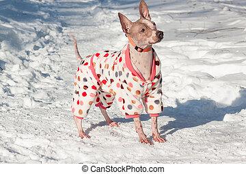 animals., かわいい, ペット, 毛のない, 白, 地位, snow., テリア, アメリカ人