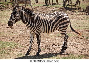animals 007 zebra manyara lake