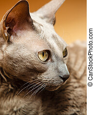 Animals at home. Egyptian mau cat