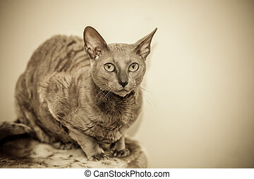 Animals at home. Egyptian mau cat portrait