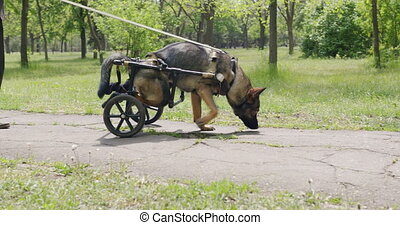 animals., chien, fauteuil roulant