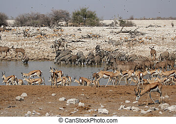 Animals drinking at the waterhole of Okaukuejo in the Etosha National Park, Namibia
