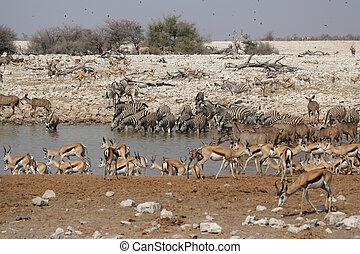 Animals drinking at the waterhole of Okaukuejo in the Etosha National Park, Namibia
