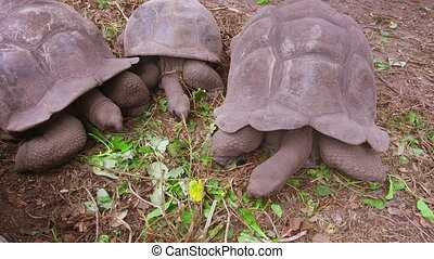 giant tortoises outdoors - animals, fauna and nature concept...