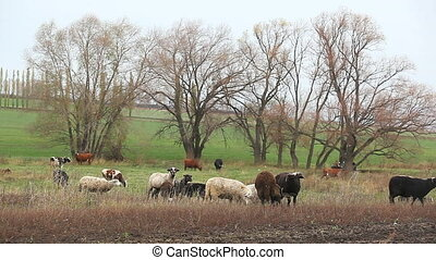 animals for agricultural farm