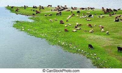 Animals grazing on river bank - Animals grazing on green...