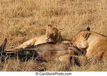Animals Hunting, Safari Animals, Uganda, Tanzania, Masai Mara, Kenya, Africa, Dead Animal, Animals In The Wild, Lion, Zebra, Mammal, Animal, Meat, Dead Body, Outdoors, Cruel, Lioness, Female Animal, T