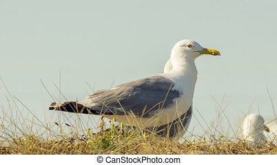 Animals In The Wild: Seagulls - Close-up shot of seagulls in...