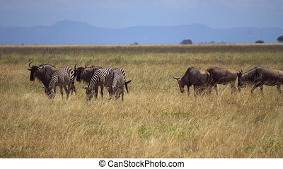 Animals Living in Harmony, Zebra and Wildebeeste Herd Feeds Together in Pasture